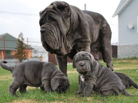 Rüyada Büyük Köpek Görmek