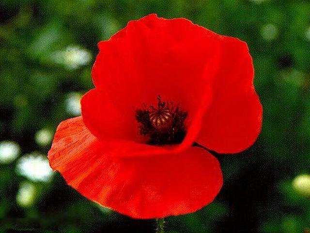 Rüyada kırmızı çiçek görmek